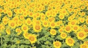sunflower-804666__340