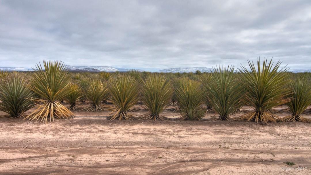 Plantación de Yucca schidigera