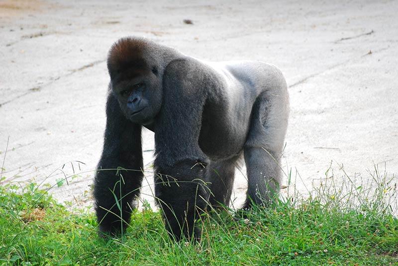 Parque de Cabárceno Gorila