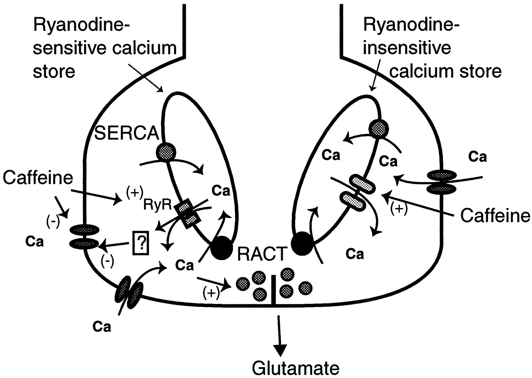 Caffeine Sensitive Calcium Stores Regulate Synaptic