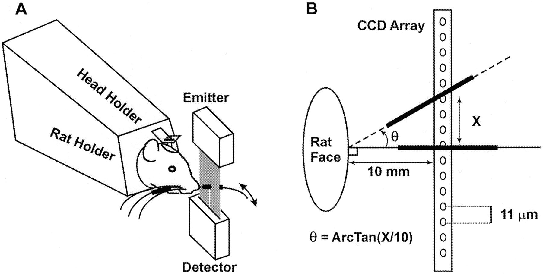 Whisker Deafferentation And Rodent Whisking Patterns