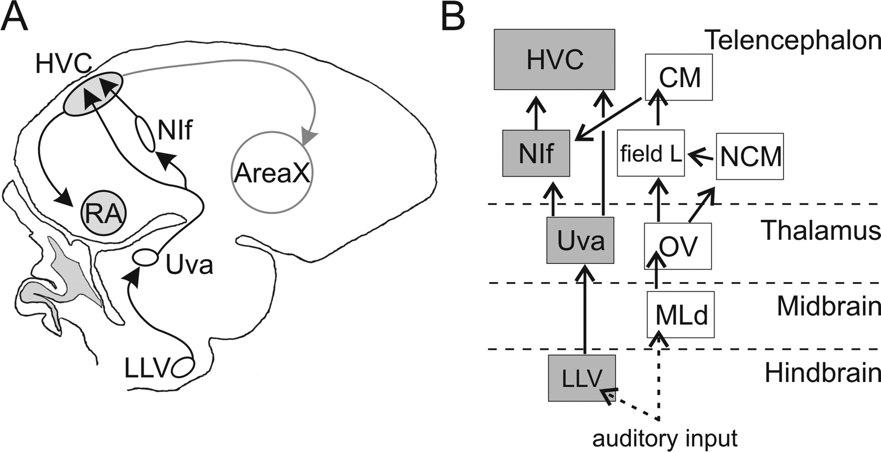 Thalamic Gating Of Auditory Responses In Telencephalic