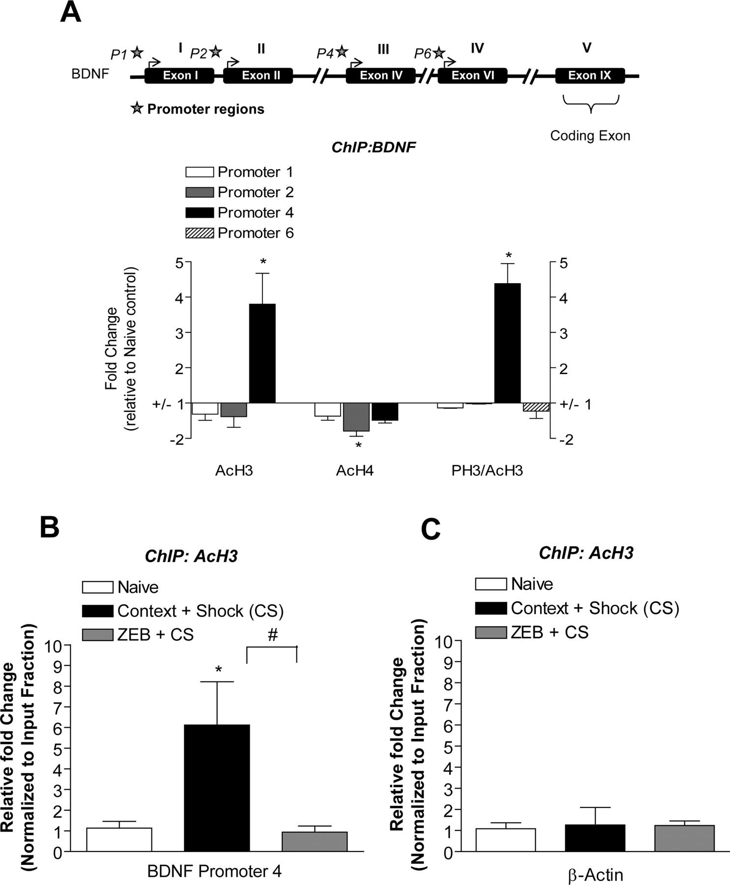 Epigenetic Regulation Of Bdnf Gene Transcription In The