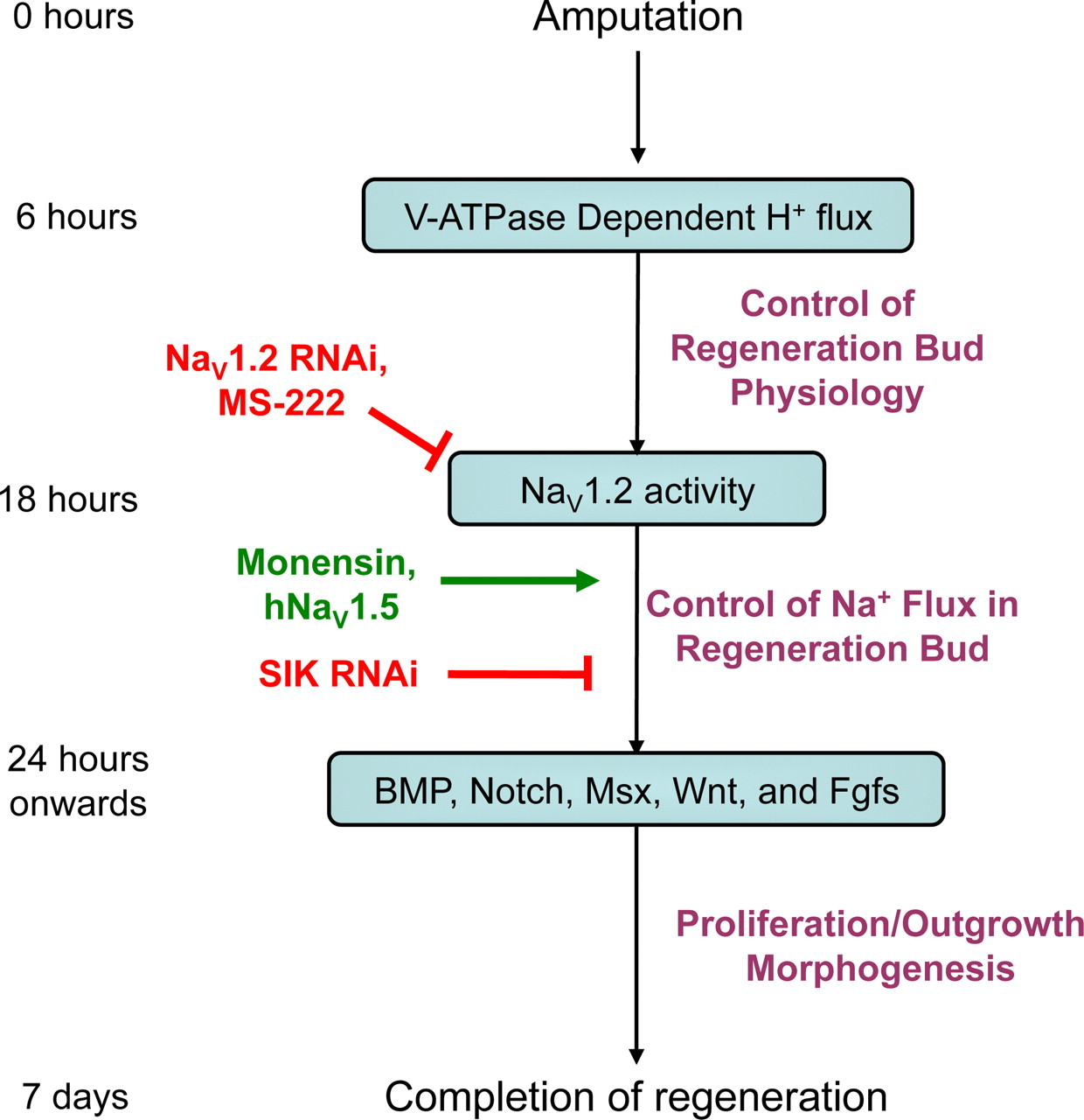 Induction Of Vertebrate Regeneration By A Transient Sodium Current