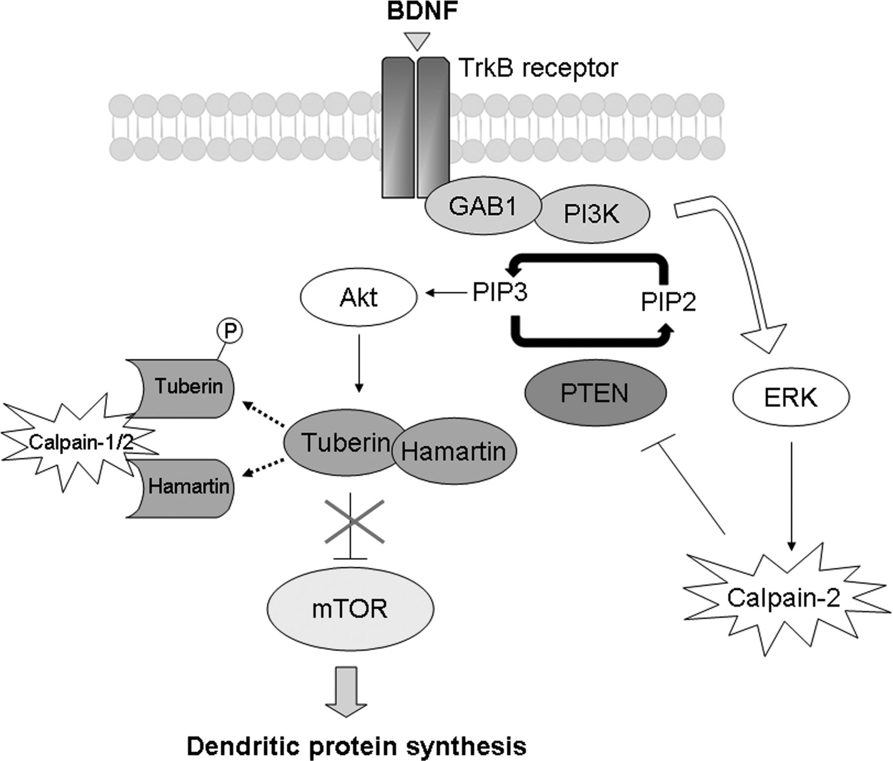 Calpain 2 Mediated Pten Degradation Contributes To Bdnf Induced Stimulation Of Dendritic Protein