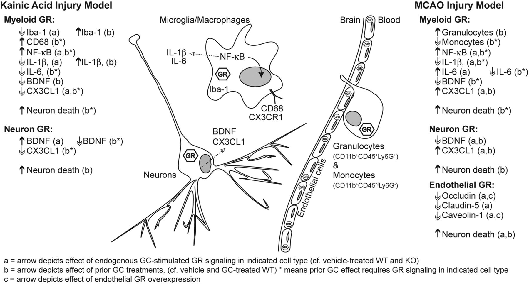 Glucocorticoid Signaling In Myeloid Cells Worsens Acute