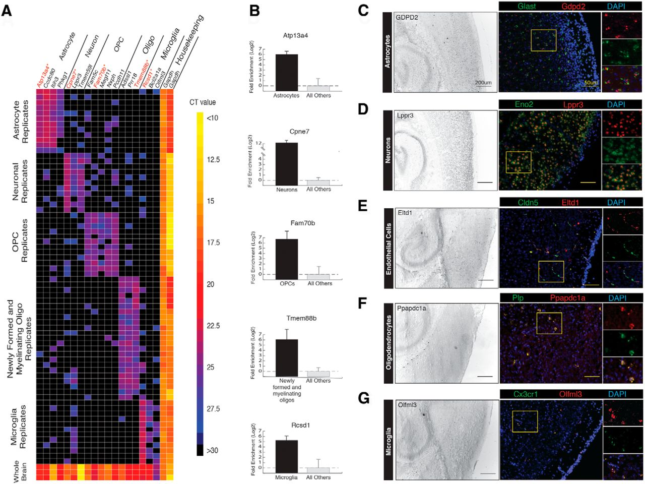 An Rna Sequencing Transcriptome And Splicing Database Of Glia Neurons And Vascular Cells Of