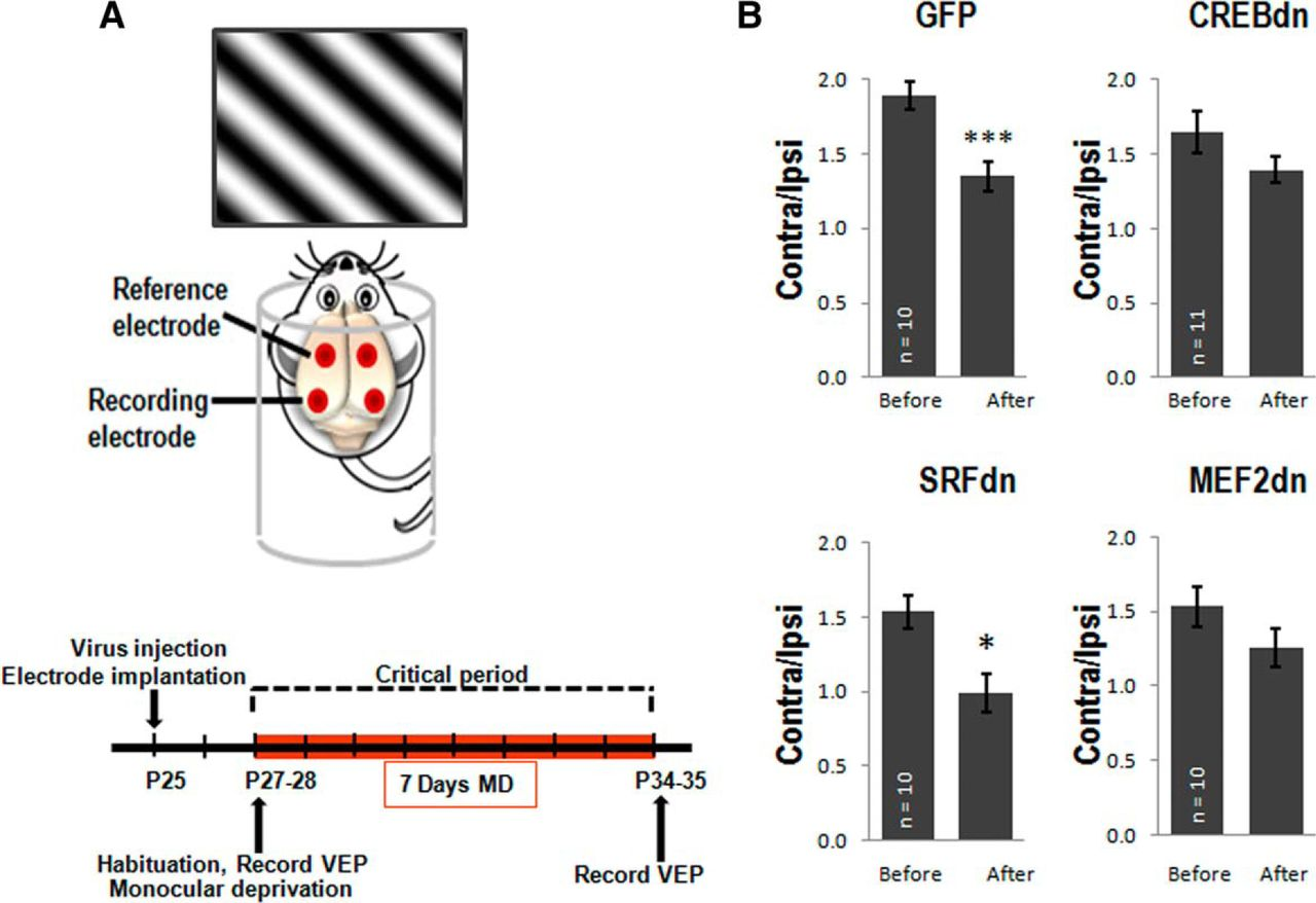 The Role Of Creb Srf And Mef2 In Activity Dependent