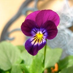 first violet bloom