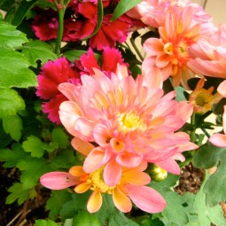 Mums and Dianthus