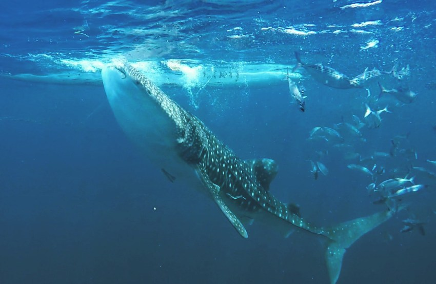 Nadar com o tubarão baleia