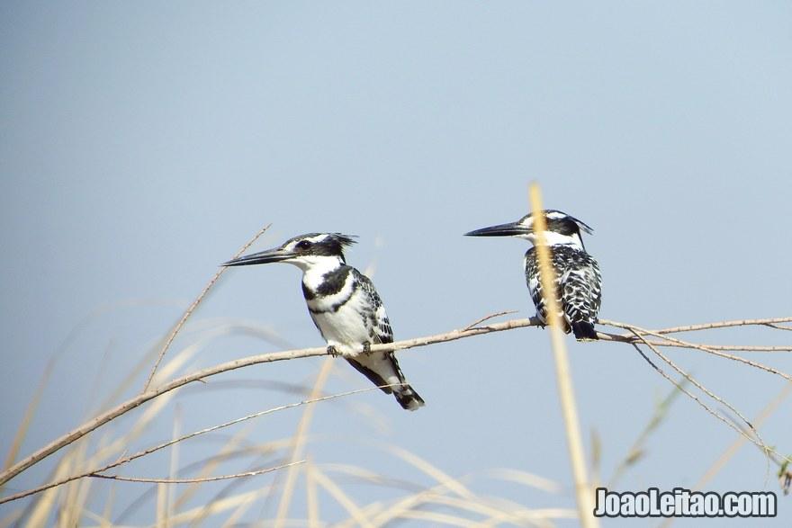 Pássaros nos pântanos da Mesopotâmia