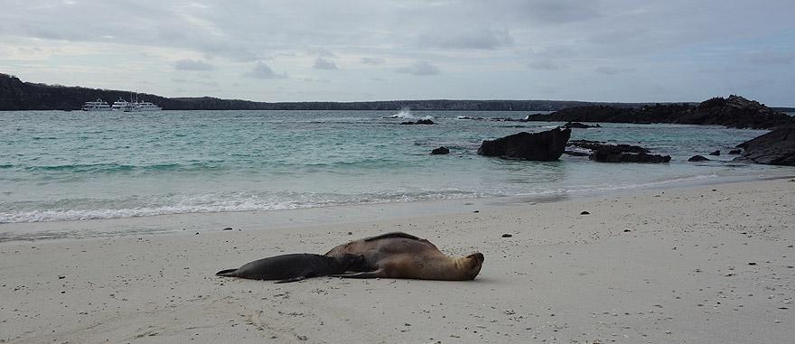 Leões-marinhos na praia da Ilha Genovesa – só consegue visitar a ilha num cruzeiro]