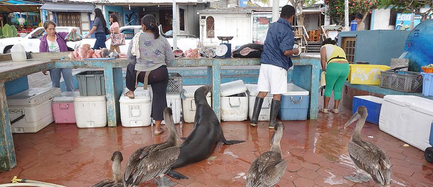 Mercado do peixe em Puerto Ayora com pelicanos e leões-marinhos esfomeados