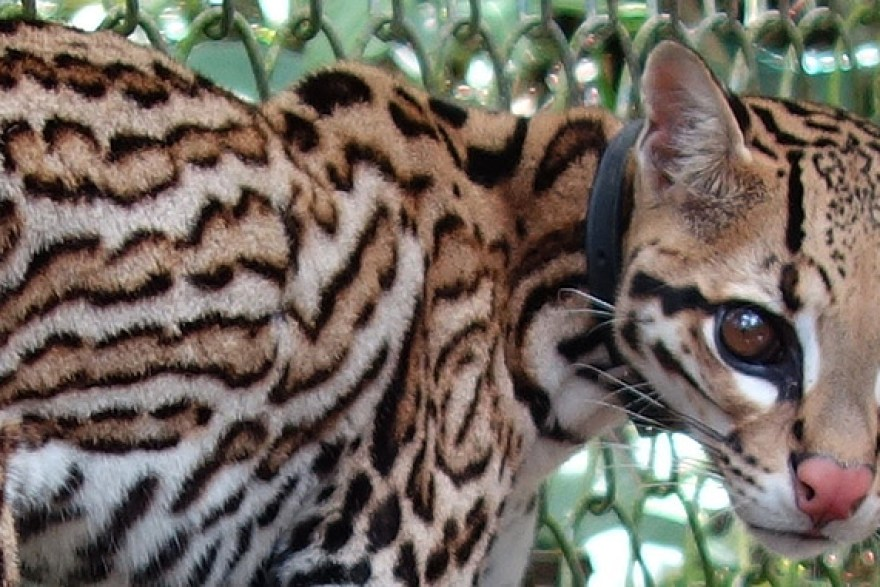 Wounded ocelot in the Amazon Animal Orphanage, Padre Cocha Peru