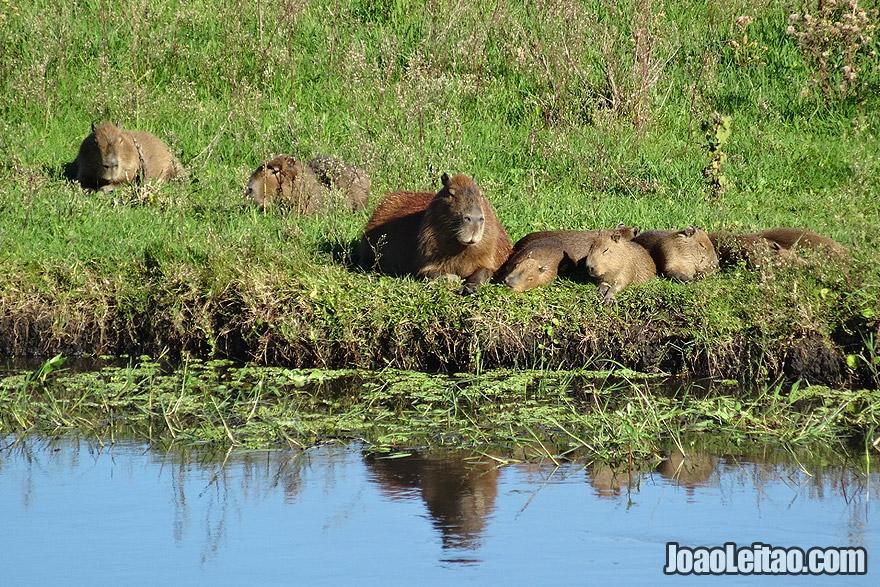 Capybaras family in south Brazil