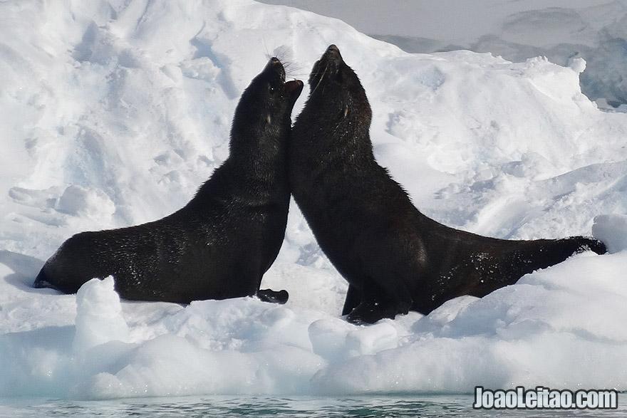 Fur Seals Fight in Antarctica