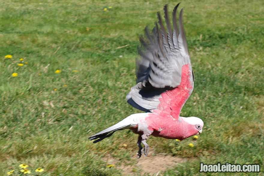 Galah or Rose Breasted Cockatoo in Canberra Australia