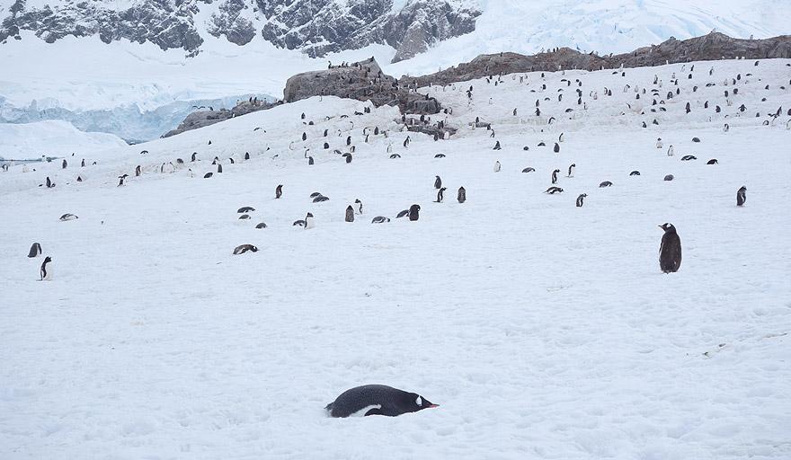 Gentoo penguin colony in Neko Harbour