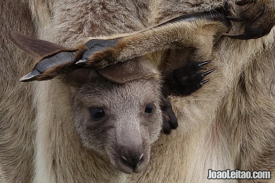 Baby Kangaroo in Australia