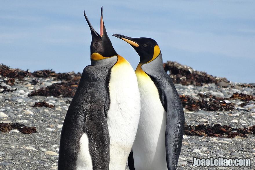 King Penguins in Tierra del Fuego, Chile