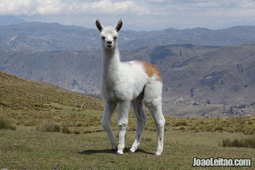 Baby Lama in the Andes Mountains of Ecuador