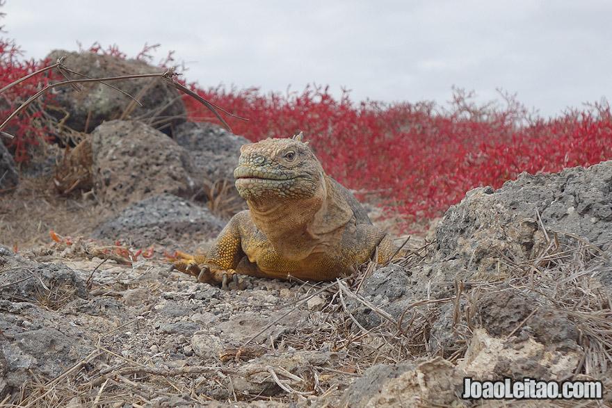Yellow Land Iguana in Galapagos