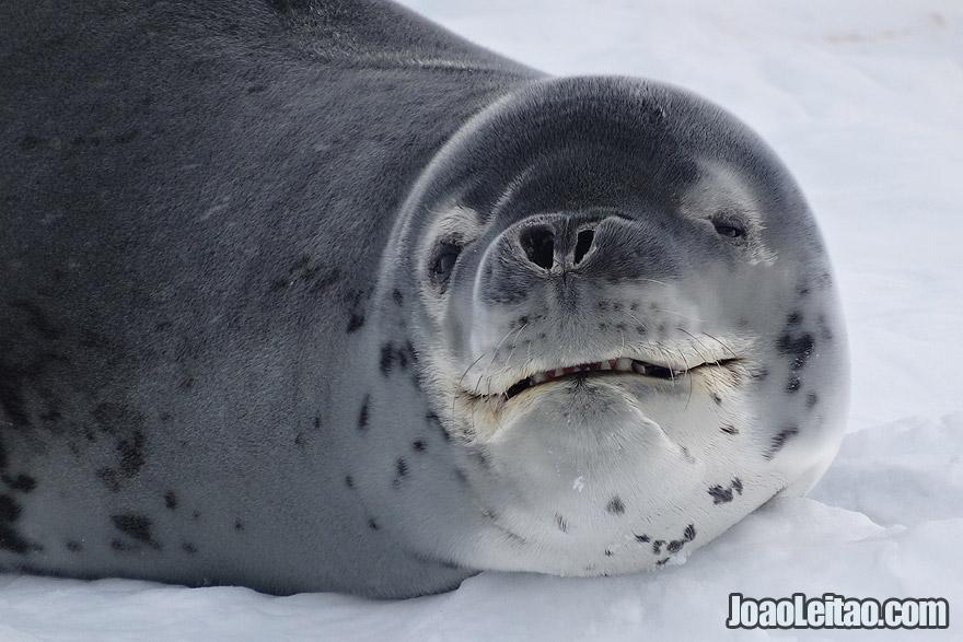 Leopard Seal Smiling in Antarctica