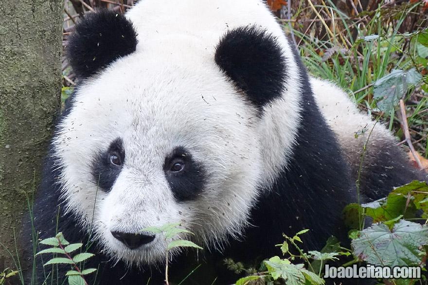 Fluffy Panda in China