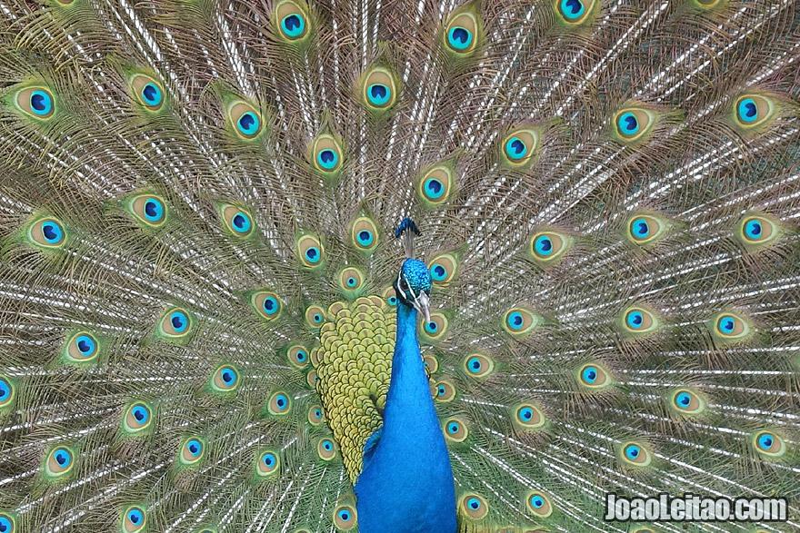 Gorgeous Peacock in Australia