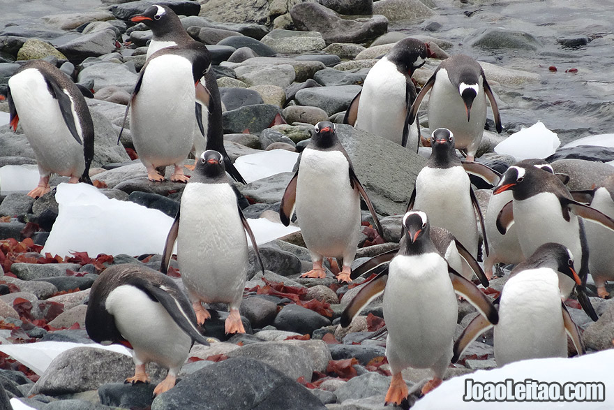 Gentoo Penguins coming out from the water after fishing in Antarctica
