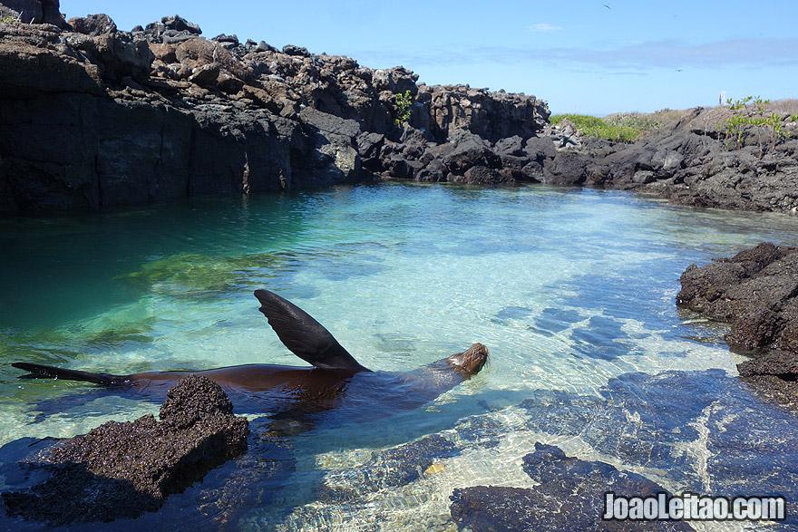 Sea Lion swimming in Galapagos