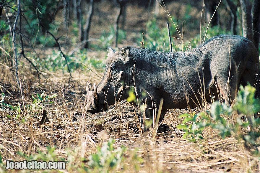 Warthog in Niokolo-Koba National Park Senegal