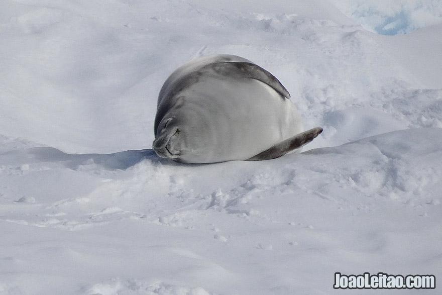 Weddell Seal sleeping in Antarctica