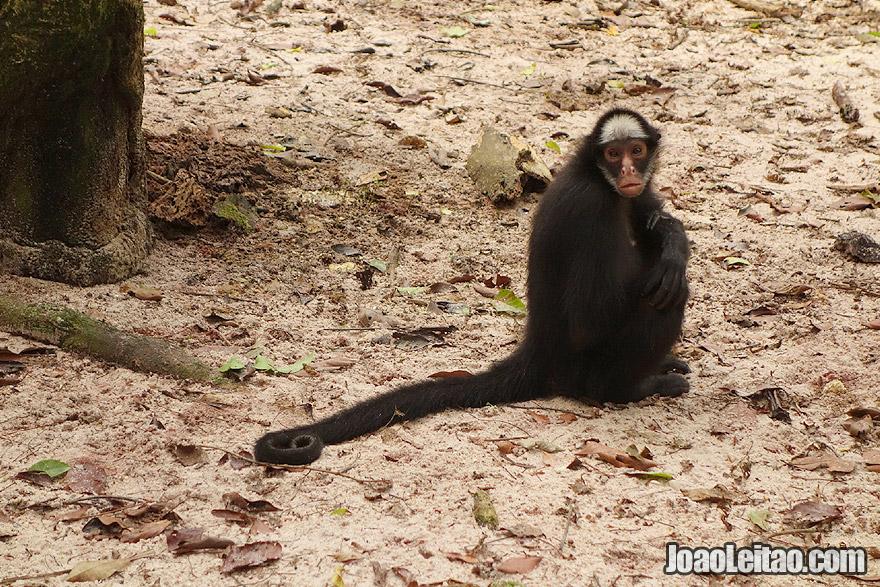 Endangered White Whiskered Spider Monkey in Amazon rescue animal center in Brazil