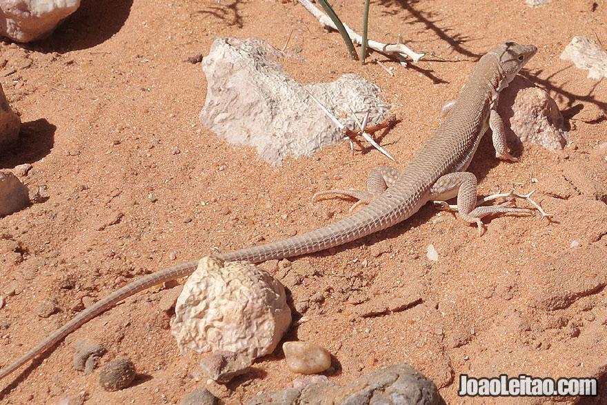 Desert Lizard in the Moroccan Sahara