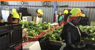 Vegetable Farm Cutter and Packer Jobs in Australia