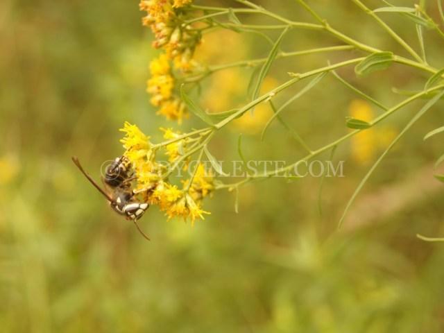 Bald-Faced Hornet on Grass Leaved Goldenrod