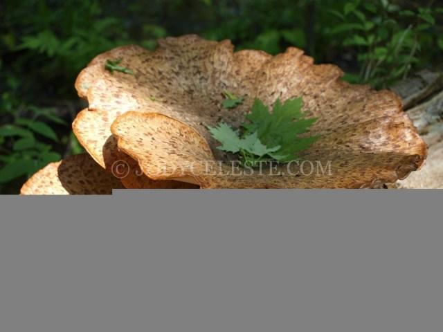 Dryad's Saddle Mushroom