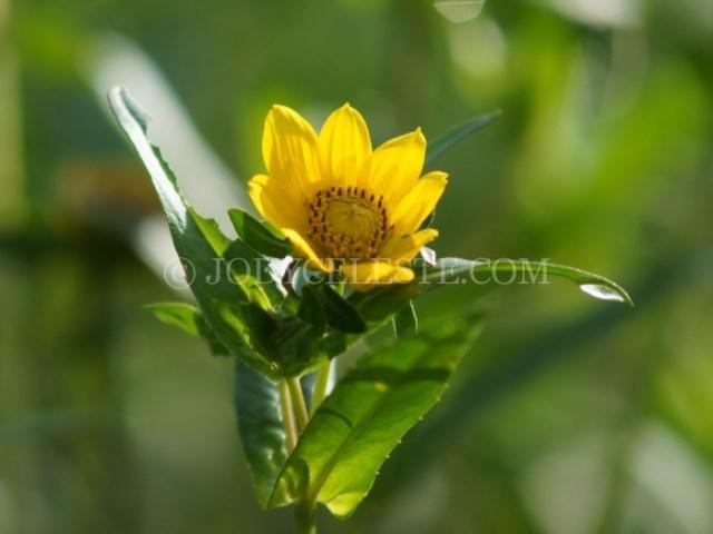 Nodding Bur-Marigold