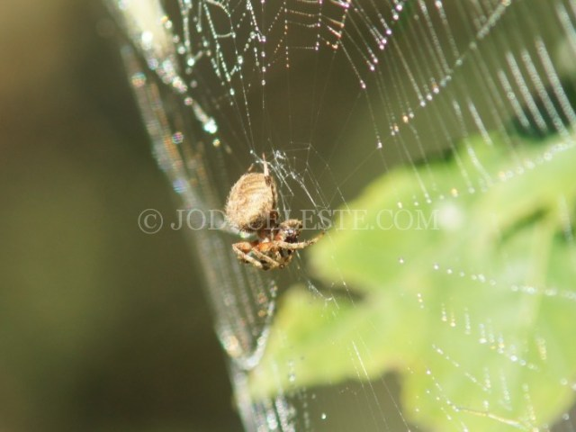 Orb Weaving Spider
