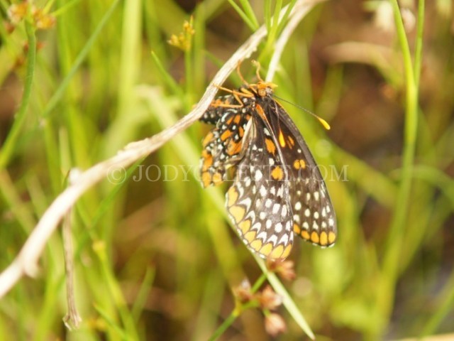 Baltimore Checkerspot Butterfly Newly Hatched