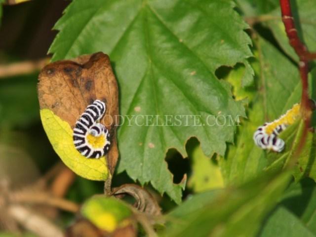 Dogwood Sawfly Larvae