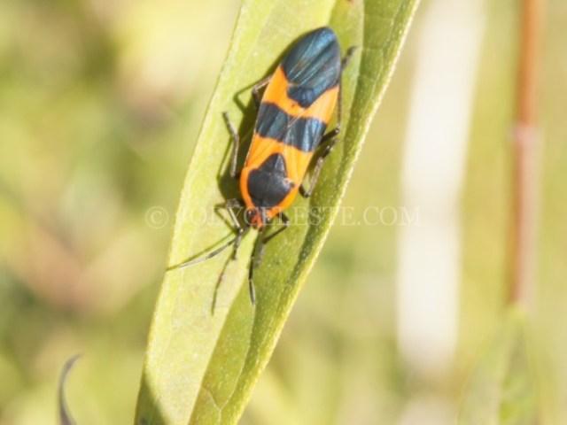 Small Milkweed Bug?
