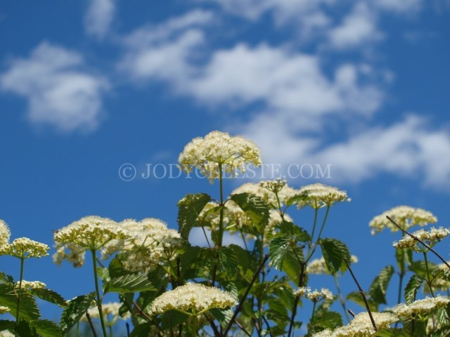 Viburnum Blossom