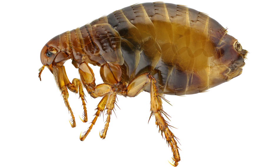 flea pest control chattanooga