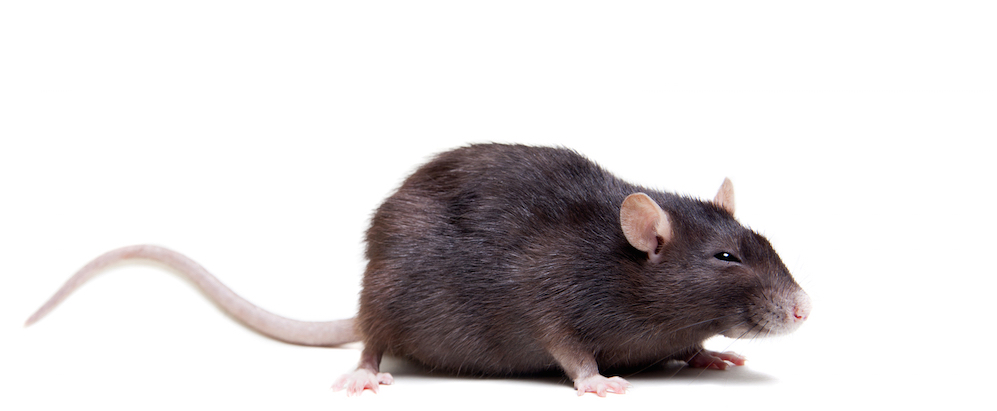 side view of a black rat on a white background