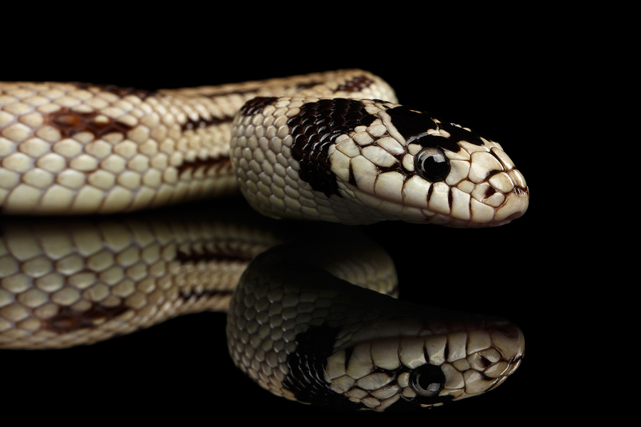 close up of a white snake with dark brown spots slithering on a black reflective surface