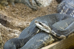 Water Moccasin cottonmouth snake