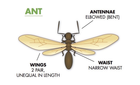 diagram of a flying ant